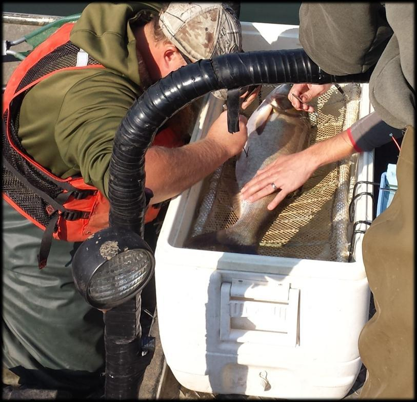 A joint effort between universities, federal agencies, and state fisheries agencies is underway to tag and track Silver Carp as well as study the effectiveness of deterrents placed at lock and dams