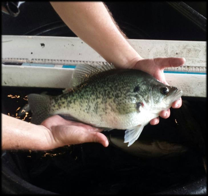 Below: Results from the 217 spring electrofishing survey on Pickwick Lake. Boat electrofishing was completed along 1.5 miles of shoreline in April.