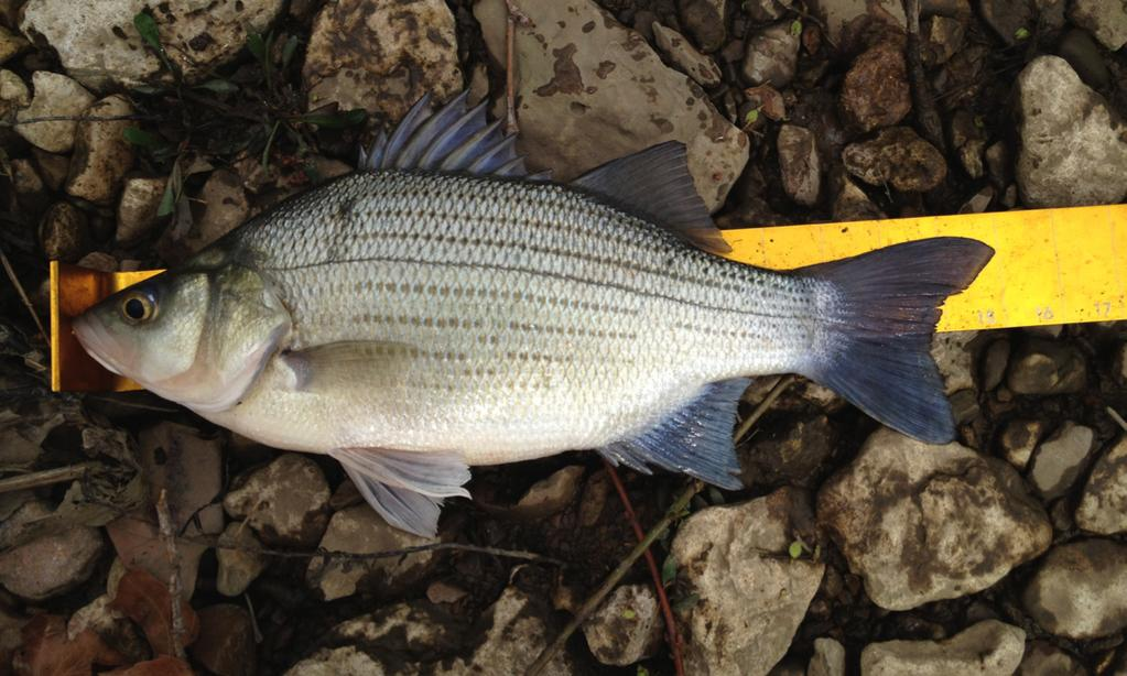 Below: 15-inch white bass from Big Hill.